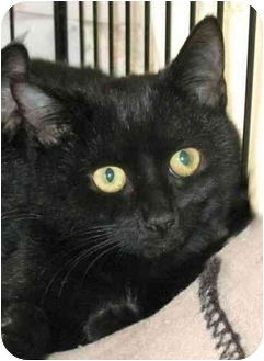 Domestic Shorthair Kitten for adoption in Plainville, Massachusetts - Dazzle