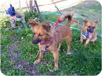 Pomeranian/Chihuahua Mix Dog for adoption in Hesperus, Colorado - HALEY