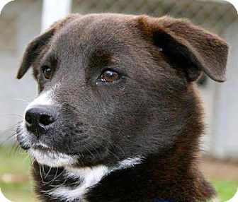 Labrador Retriever/Border Collie Mix Puppy for adoption in Gainesville, Florida - Prince Charming