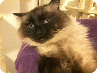 Himalayan Cat for adoption in Van Nuys, California - Prince