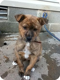 Shepherd (Unknown Type)/Boxer Mix Puppy for adoption in Newtown, Connecticut - Brussel Sprout