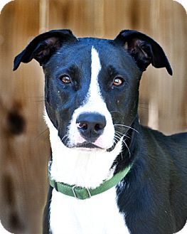 Border Collie/Labrador Retriever Mix Dog for adoption in Houston, Texas - Peggy Sue