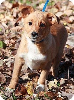 Sheltie, Shetland Sheepdog Mix Puppy for adoption in Foster, Rhode Island - Chelsea (In R.I.)