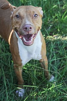 American Pit Bull Terrier Dog for adoption in Jackson, Mississippi - Cocoa