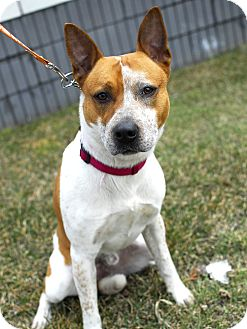 Cattle Dog Mix Dog for adoption in Detroit, Michigan - Jackson - Pending!