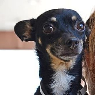 Chihuahua Mix Dog for adoption in Denver, Colorado - Kipper