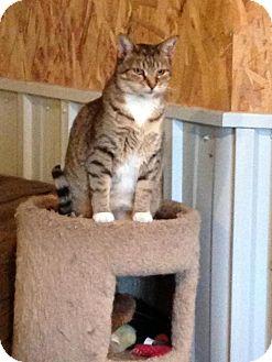 Domestic Mediumhair Cat for adoption in Kyle, South Dakota - Gingersnap *Reduced adoption fee FIV positive *