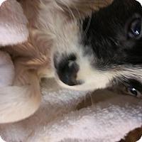 Adopt A Pet :: Torus Storm - Mechanicsburg, PA