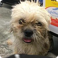 Adopt A Pet :: Sassie - Brattleboro, VT