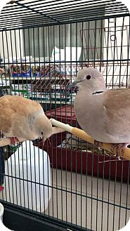 Dove for adoption in Greenfield, Indiana - Ringneck doves