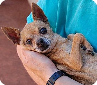Chihuahua Mix Dog for adoption in Las Vegas, Nevada - Winston