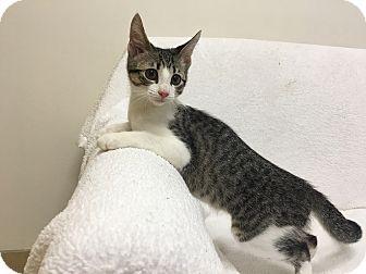 Domestic Shorthair Kitten for adoption in Mission Viejo, California - Monroe