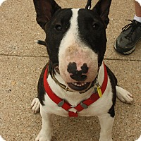 Adopt A Pet :: Archie - Dallas, TX