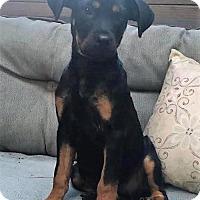 Adopt A Pet :: Bellea - Alpharetta, GA