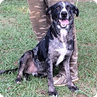 Catahoula Leopard Dog Mix Dog for adoption in Slidell, Louisiana - Brody
