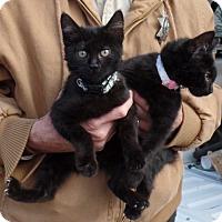 Adopt A Pet :: Simba - Cut Bank, MT