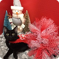 Bombay Kitten for adoption in Pasadena, Texas - Middie