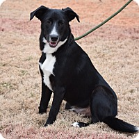 Border Collie/Labrador Retriever Mix Dog for adoption in Nashville, Tennessee - Buddy