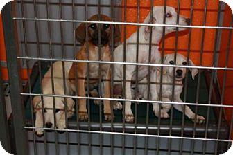 Labrador Retriever Mix Dog for adoption in Denver, Colorado - Lab Family