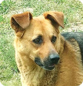 Labrador Retriever/German Shepherd Dog Mix Dog for adoption in Kirkland, Washington - Molly Brown
