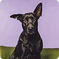 Adopt A Pet :: Bella Ray - Houston, TX