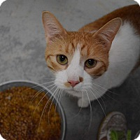 Domestic Shorthair Cat for adoption in Grinnell, Iowa - Tom