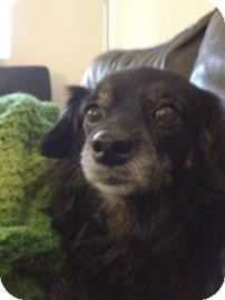Dachshund Mix Dog for adoption in Tucson, Arizona - Oreo the 2nd