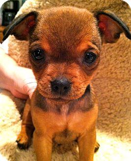 Brussels Griffon/Chihuahua Mix Puppy for adoption in Phoenix, Arizona - Yoda