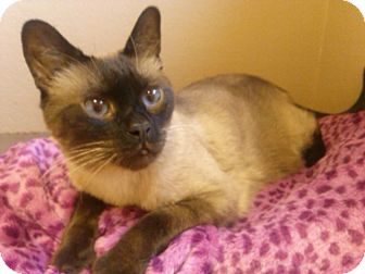 Siamese Cat for adoption in Fountain Hills, Arizona - CEE-LO