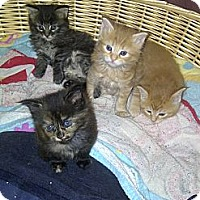 Adopt A Pet :: Kittens - San Ramon, CA