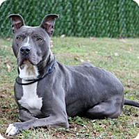 Adopt A Pet :: Nikko - Port Washington, NY