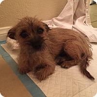 Adopt A Pet :: Skyler - Las Vegas, NV