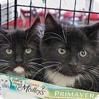 Adopt A Pet :: Inky - Merrifield, VA