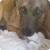 Adopt A Pet :: Dean - Las Vegas, NV