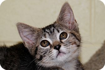 American Shorthair Kitten for adoption in Salem, West Virginia - Tabitha