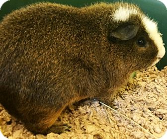 Guinea Pig for adoption in Fairfax, Virginia - Porthos