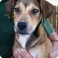 Adopt A Pet :: Betty Boop - Gainesville, FL