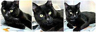 Domestic Shorthair Cat for adoption in Forked River, New Jersey - Bungee