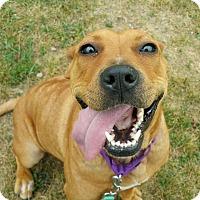 Pit Bull Terrier Mix Dog for adoption in Lisbon, Ohio - Star