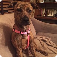 Adopt A Pet :: Harlow - St Louis, MO