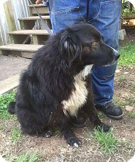 Border Collie Mix Dog for adoption in Houston, Texas - Kramer