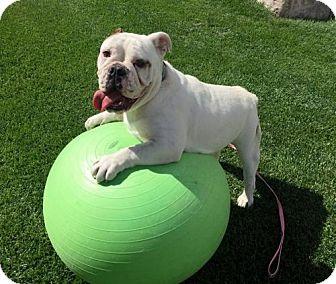 English Bulldog Dog for adoption in Westminster, Colorado - Moe