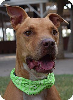 Staffordshire Bull Terrier/American Bulldog Mix Dog for adoption in Phoenix, Arizona - BUDDY