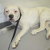 American Bulldog Mix Dog for adoption in Lancaster, California - Sissy