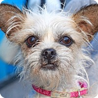 Adopt A Pet :: Polly - New York, NY