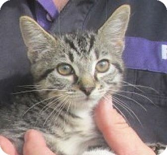 Bengal Kitten for adoption in Germantown, Maryland - Tansy