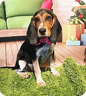 Bluetick Coonhound Mix Puppy for adoption in Castro Valley, California - Dakota