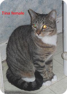 American Shorthair Cat for adoption in Pensacola, Florida - Tina