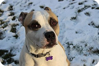 American Bulldog/American Pit Bull Terrier Mix Dog for adoption in Huntington, New York - Macho