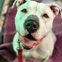 American Bulldog/American Pit Bull Terrier Mix Dog for adoption in Orange, California - Gonzo